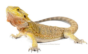 Australian Bearded Dragon image