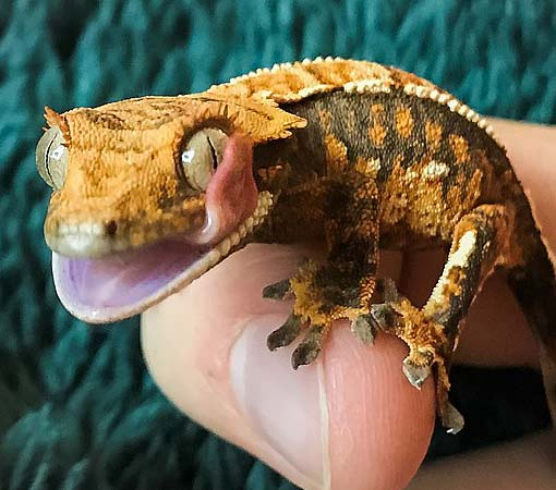 Crested Gecko eye wash-moisten by Jazium - Own work, CC BY-SA 4.0,