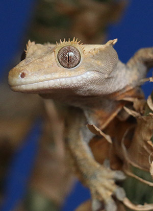 Crested Gecko close up