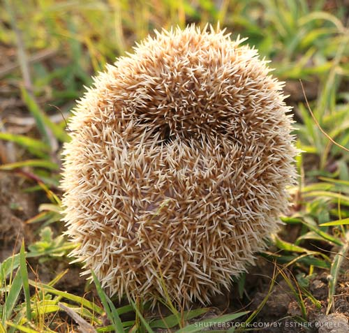 Hedgehog in a tight ball picture