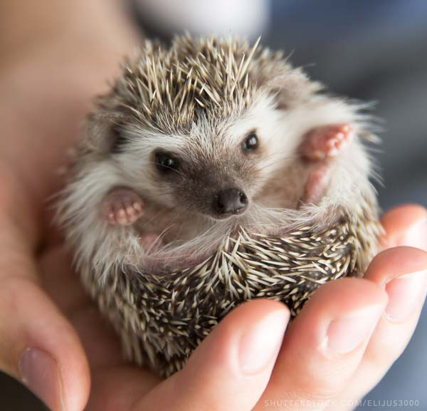 Hedgehog in a hand picture