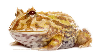 Great Horned Frog - Pacman Frog  image