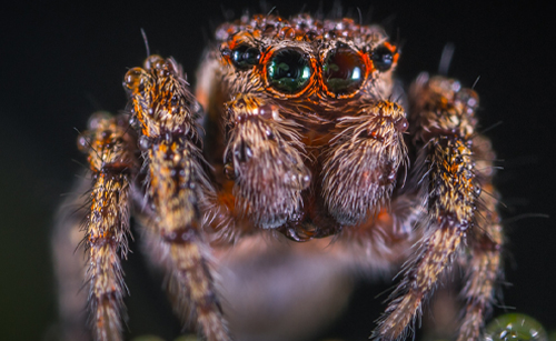 jumping spider image