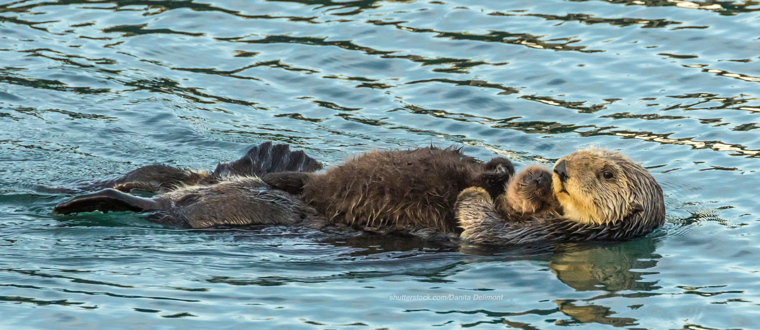 Sea otter mom