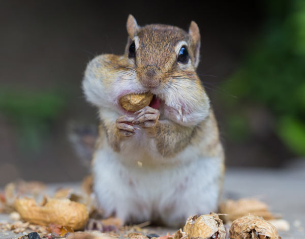 Chipmunk with cheeks full
